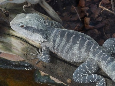 Photos de saurien: dragon d'eau australien - agame aquatique - Physignathus lesueurii | Fauna Free Pics - Public Domain - Photos gratuites d'animaux | Scoop.it