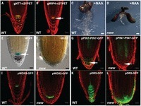 Genetic control of distal stem cell fate within root and embryonic meristems   Emerging Research in Plant Cell Biology   Scoop.it