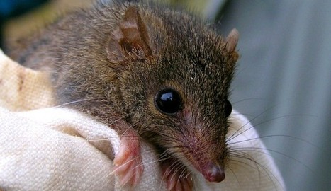 Marsupials Mating: Antechinus Mass Die Off Linked To Suicidal Sex Ritual - The Inquisitr | Rituals in the  Workplace | Scoop.it