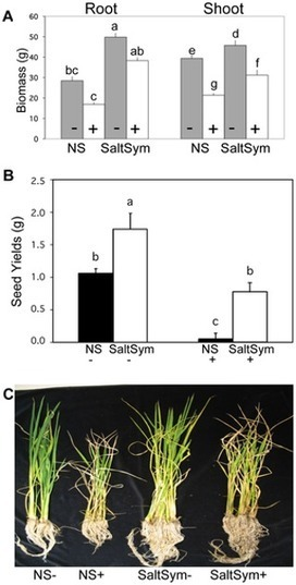 Increased Fitness of Rice Plants to Abiotic Stress Via Habitat Adapted Symbiosis: A Strategy for Mitigating Impacts of Climate Change | Plant Science | Scoop.it