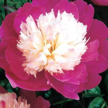 Gay Paree Peony | Springhill Nursery | Scoop.it