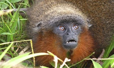 Purring monkey and vegetarian piranha among 400 new Amazon species | Rainforest EXPLORER:  News & Notes | Scoop.it