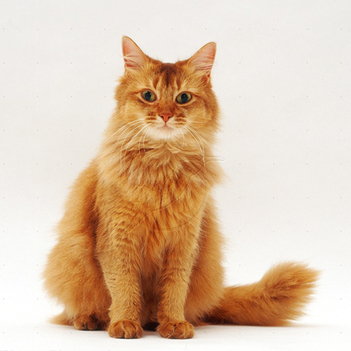 Somali Cat | Cat Breeds Information | Scoop.it