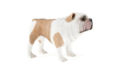 bulldog anglais 3D | 3D Library | Scoop.it