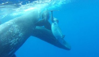 Whales adopting disabled dolphin is the feel-good story of the millenium   OUR OCEANS NEED US   Scoop.it