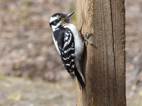 Photos d'oiseaux : Pic mineur - Picoides pubescens - Downy Woodpecker | Fauna Free Pics - Public Domain - Photos gratuites d'animaux | Scoop.it