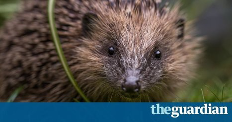 Hedgehogs continue to disappear from British gardens, wildlife survey shows | 100 Acre Wood | Scoop.it