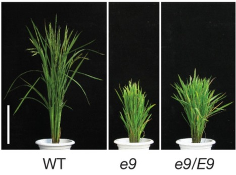 DWARF 53 acts as a repressor of strigolactone signalling in rice | Plant microbe symbiotic signals | Scoop.it