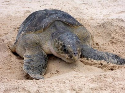 Largest turtle breeding colony in the Atlantic discovered | Amocean OceanScoops | Scoop.it