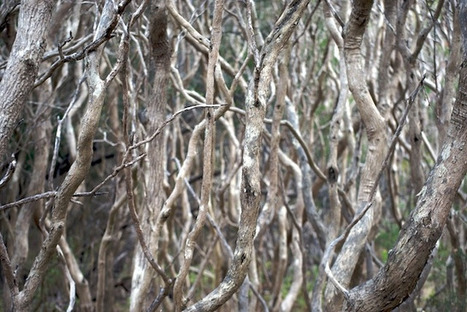 #271 Restoring the Moonah Woodlands | This gives me hope | This Gives Me Hope | Scoop.it