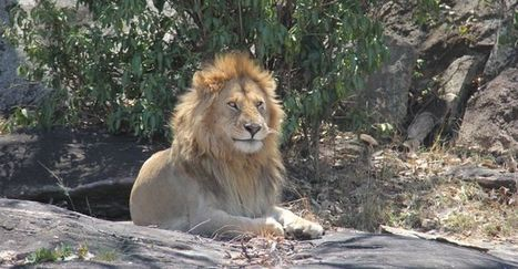 Review of Lion Conservation Strategies   CMS   Volunteer in Africa   Scoop.it