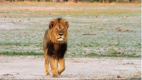 Le Zimbabwe restreint la grande chasse après la mort du lion Cecil | Biodiversité | Scoop.it