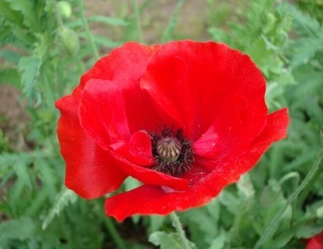 Red Poppy: The National Flower of Belgium   ProBloggerTricks   Scoop.it