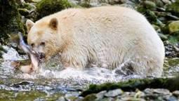 Coastal First Nations prepare to enforce B.C. bear-hunting ban | Hunting | Scoop.it