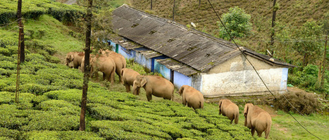 Se buscan 28 millones de euros para proteger a los elefantes indios | Agua | Scoop.it