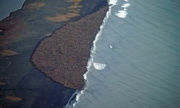"Extreme Arctic sea ice melt forces thousands of walruses ashore in Alaska (""are they staging a rally"") 