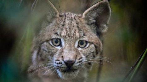 Talo, un lynx suisse dans le massif du Mont-Blanc, en Haute-Savoie - France 3 Alpes | The Blog's Revue by OlivierSC | Scoop.it