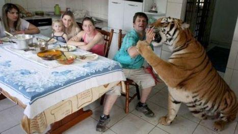 Brasil: Una familia convive con SIETE tigres en su casa | EUDOG | Scoop.it