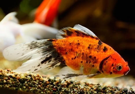 Bacterial ulcers in fish | Pets4Homes | Animal Management | Scoop.it