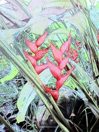 Heliconia-skete style-เฮลิโคเนีย-ธรรมรักษา ก้ามกุ้ง ก้ามกั้ง สร้อยกัทลี-สวยอีกแบบในแนว-ภาพร่าง   My Photo  :Share Picture For Everyone   Scoop.it