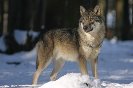 La France va-t-elle devenir le refuge d'animaux sauvages ? | Environnement et développement durable | Scoop.it