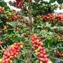 Presentan software para diagnóstico de plagas en cultivos de cacao ... - INFOREGION | Agricultura | Scoop.it