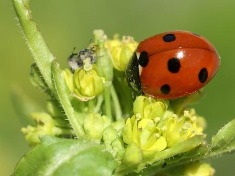 Photo de coléoptère : Coccinelle à sept points - Coccinella septempunctata - Bête à Bon Dieu - Seven-spot ladybird - Seven-spotted ladybug   Fauna Free Pics - Public Domain - Photos gratuites d'animaux   Scoop.it
