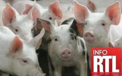 Cochons empoisonnés : vers un nouveau scandale sanitaire ? | Toxique, soyons vigilant ! | Scoop.it