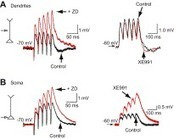 HCN and KV7 (M-) channels as targets for epilepsy treatment | Neuroscience_topics | Scoop.it