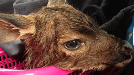 Tourist's C-section saves fawn after doe struck on highway | This Gives Me Hope | Scoop.it