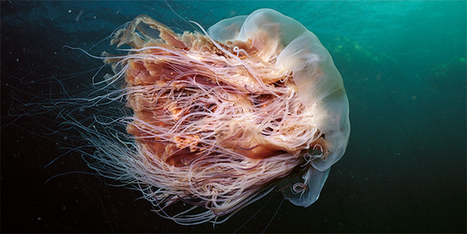 CLIMATE CHANGE: The 120-Foot-Long Jellyfish That's Loving Global Warming?   > Environmental   Scoop.it