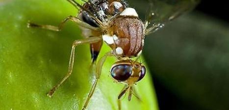 Le lâcher de mouches OGM sur la Catalogne aura-t-il lieu ? | EntomoNews | Scoop.it