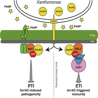 Cell Host Microbe: The Decoy Substrate of a Pathogen Effector and a Pseudokinase Specify Pathogen-Induced Modified-Self Recognition and Immunity in Plants (2015) | Plant-microbe interaction | Scoop.it