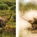 "Nikela Asks:Save Rhino ""A"" by Killing Rhino ""B""? 