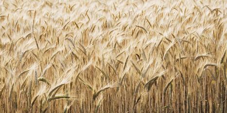 Comment le blé nous rend malade? Entrevue avec le cardiologue ... - Le Huffington Post Quebec   Manger sans gluten   Scoop.it