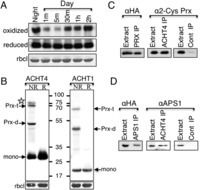 ACHT4-driven oxidation of APS1 attenuates starch synthesis under low light intensity in Arabidopsis plants | Emerging Research in Plant Cell Biology | Scoop.it