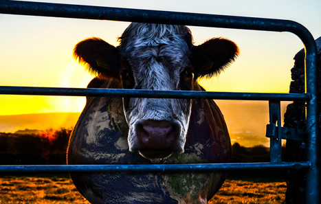 Cowspiracy: The Sustainability Secret | Veganism | Scoop.it