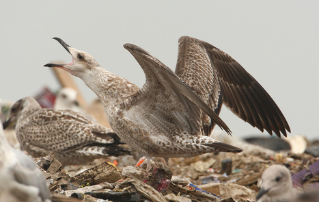 Juvenile Caspian Gull   Bird ID   Scoop.it
