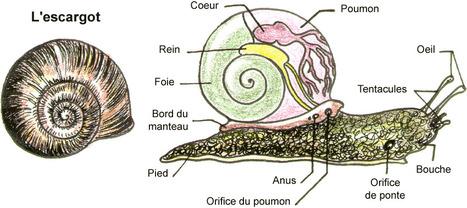 Comment lutter sans pesticides contre limaces et escargots dans un potager ? | Chronique d'un pays où il ne se passe rien... ou presque ! | Scoop.it