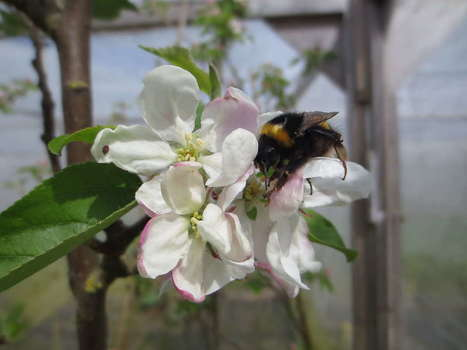 Neonicotinoid Pesticides Make Bees Worse Pollinators | Health from the Hive | Scoop.it