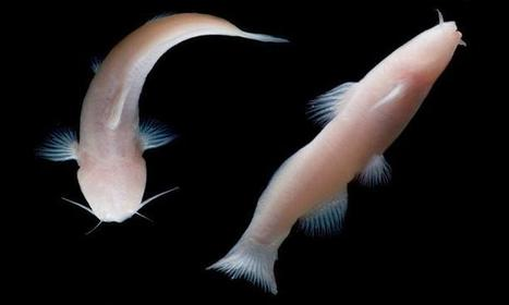 Rare, blind catfish never before found in US discovered in national park cave in Texas | De Natura Rerum | Scoop.it