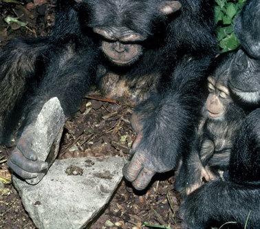 Científicos de 3 continentes lo confirman: algunos chimpancés ya están en la Edad de Piedra | Aux origines | Scoop.it