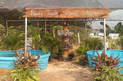 Fancy Tail Fish Farm | fancy tails fish farm | Scoop.it