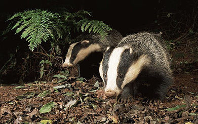 Hedgehogs in decline 'because badgers are eating them' - Telegraph | British wildlife | Scoop.it
