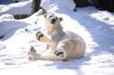 10 Polar Bears Having Fun In The Snow | The Pet Collective | Bears | Scoop.it
