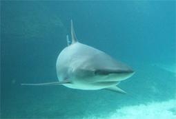 Los tiburones cuentan con un nuevo plan mundial de conservación | pedro sanchez | Scoop.it