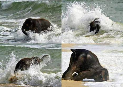 When a baby elephant sees the sea for the first time...   General   Scoop.it