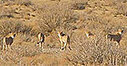 Yale Environment 360: Endangered Asiatic Cheetahs Are Spotted by Iranian Conservationists | Sustain Our Earth | Scoop.it