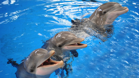 Dolphins can remember their friends better than most humans | Flash Science News | Scoop.it