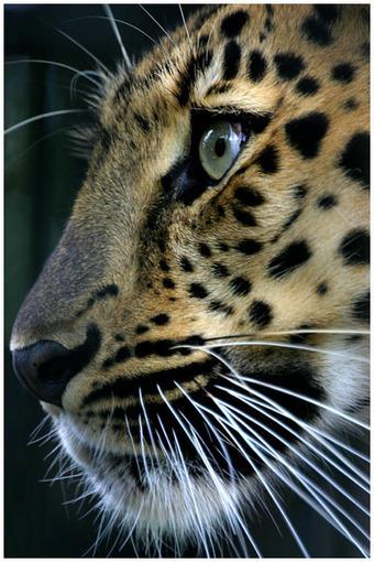 Evanita W. Montalvo-Nature and Wildlife Photography | amur leopard | Scoop.it